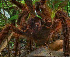 Schauderhafte Begegnung mit Riesenspinne