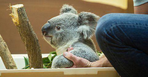 """Neuer Koala """"Wirri Wirri"""" in den Tiergarten Schönbrunn gezogen"""