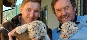 """Nachwuchs der besonderen Art: """"Weißer Zoo"""" freut sich über Tiger-Zwillinge"""