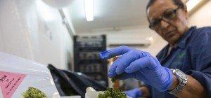 Deutscher Gesundheitsminister kündigt Cannabis auf Rezept für 2017 an