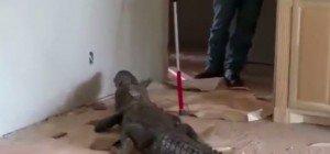 Kommt ein Alligator ins Wohnzimmer