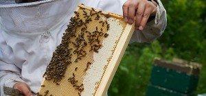 Österreichs Bienenverluste im Winter vergleichsweise niedrig