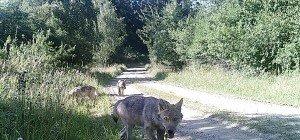 Erster Wolfnachwuchs seit über 100 Jahren in NÖ gesichtet