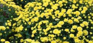 Der Herbst: Chrysanthemen und Gräser im VOL.AT-Gartentipp