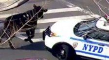 New York: Wenn die Polizei einen Bullen jagt