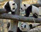 Panda-Zwillinge erkunden erstmals die Außenanlage im Tiergarten Schönbrunn