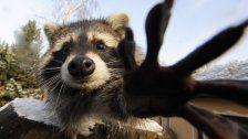 Weshalb aus Waschbären nun Pelz werden soll