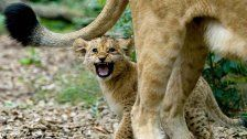 Schönbrunn setzt bei Löwen auf Verhütung