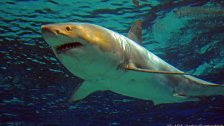 Sydney: Weißer Hai griff Schwimmerin an