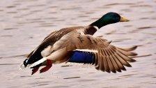 Schneller als die Polizei erlaubt: Ente geblitzt