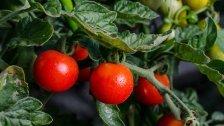 Gemüse des Jahres ist Tomaten-Erdäpfel-Hybrid