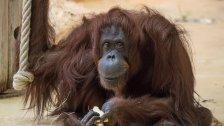 Orang-Utan-Weibchen in Schönbrunn gestorben