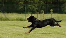 Fünf Menschen gebissen: Polizei erschoss Rottweiler
