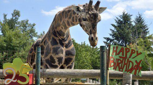 Giraffe Kimbar wird 25 Jahre alt: Party im Tiergarten Schönbrunn