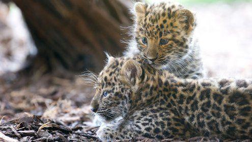 So heißen die süßen Leoparden-Babys im Tiergarten Schönbrunn